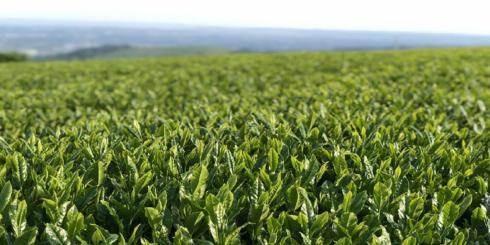 宮崎のお茶を伝える白玄堂の新茶