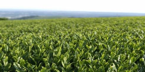 d47 MARKET「宮崎のお茶を伝える白玄堂の新茶」