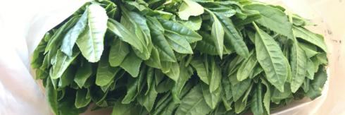 狭山茶の生産をする新井園見学レポート
