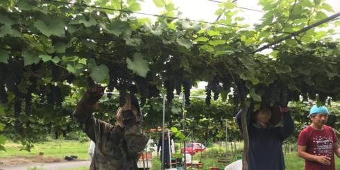 武蔵ワイナリー 収穫とワインの仕込みレポート