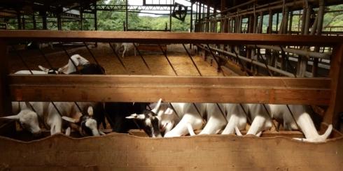 山羊を育て、山羊のチーズを作る牧場「ルーラルカプリ」