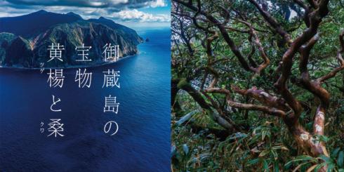 御蔵島の宝物 黄楊と桑